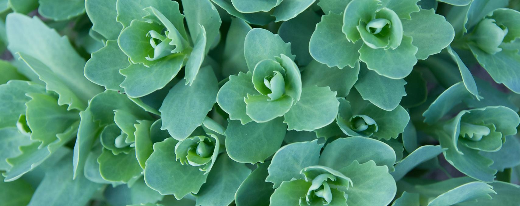 Sedum Spurium 'Roseum' Succulent