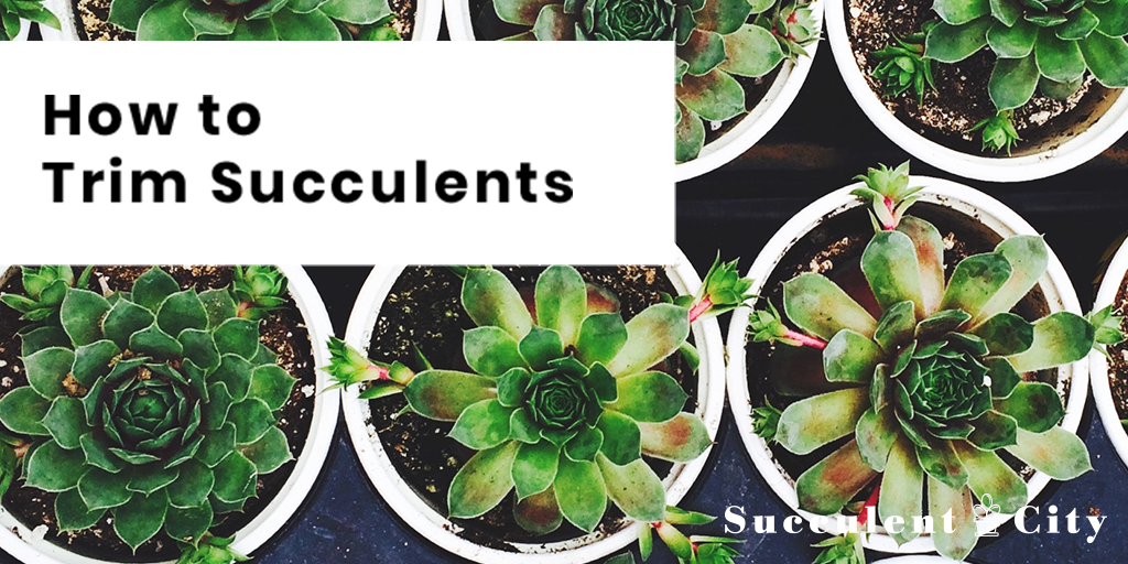 How To Trim Succulents Successfully Guide Succulent City