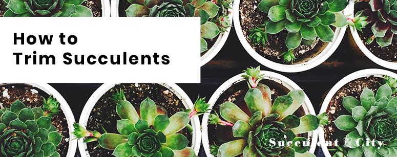 How to Trim Succulents