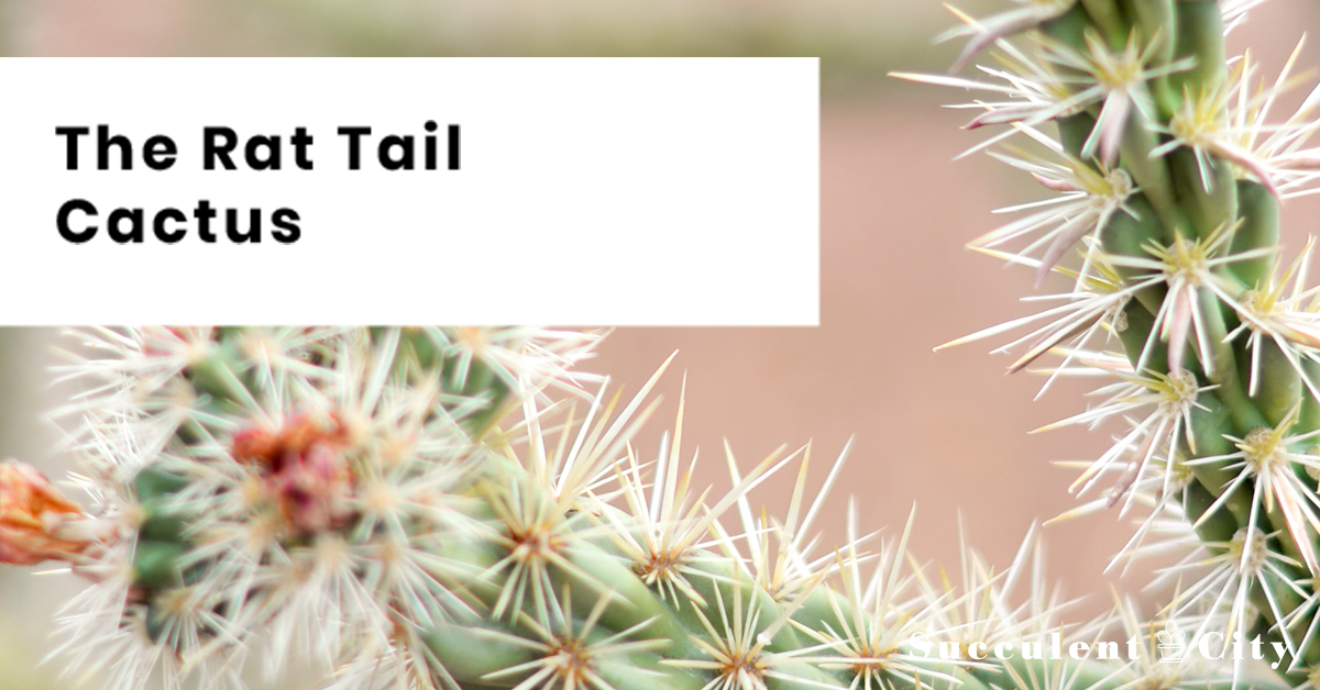 The Rat Tail Cactus: Everything You Need To Know | Succulent