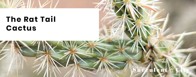 The Rat Tail Cactus: Everything You Need To Know