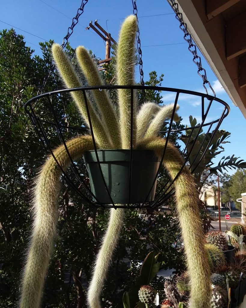 The Soft Monkey Tail Cactus
