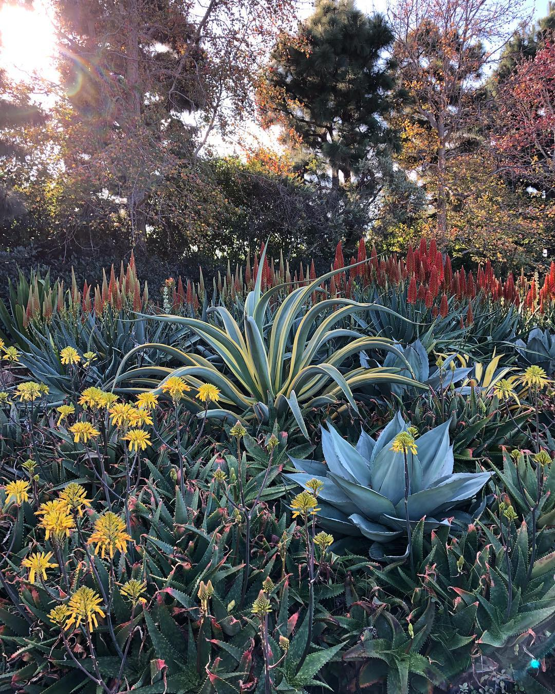 What Is A Whale's Tongue? Agave ovatifolia