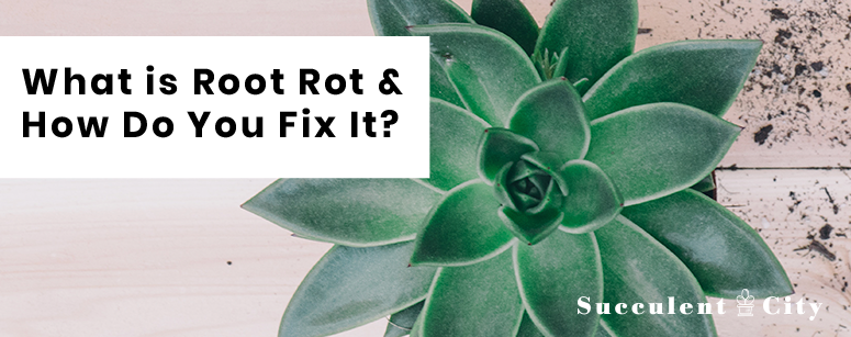 What is Root Rot & How Do You Fix it?