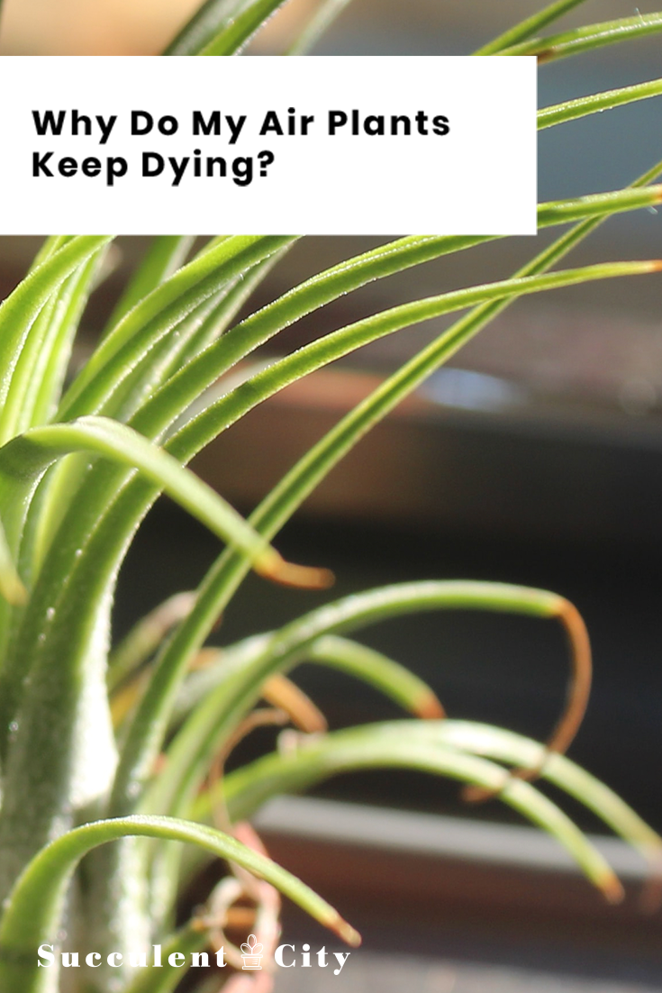 Why Do My Air Plants Keep Dying? Everything You Need To Know