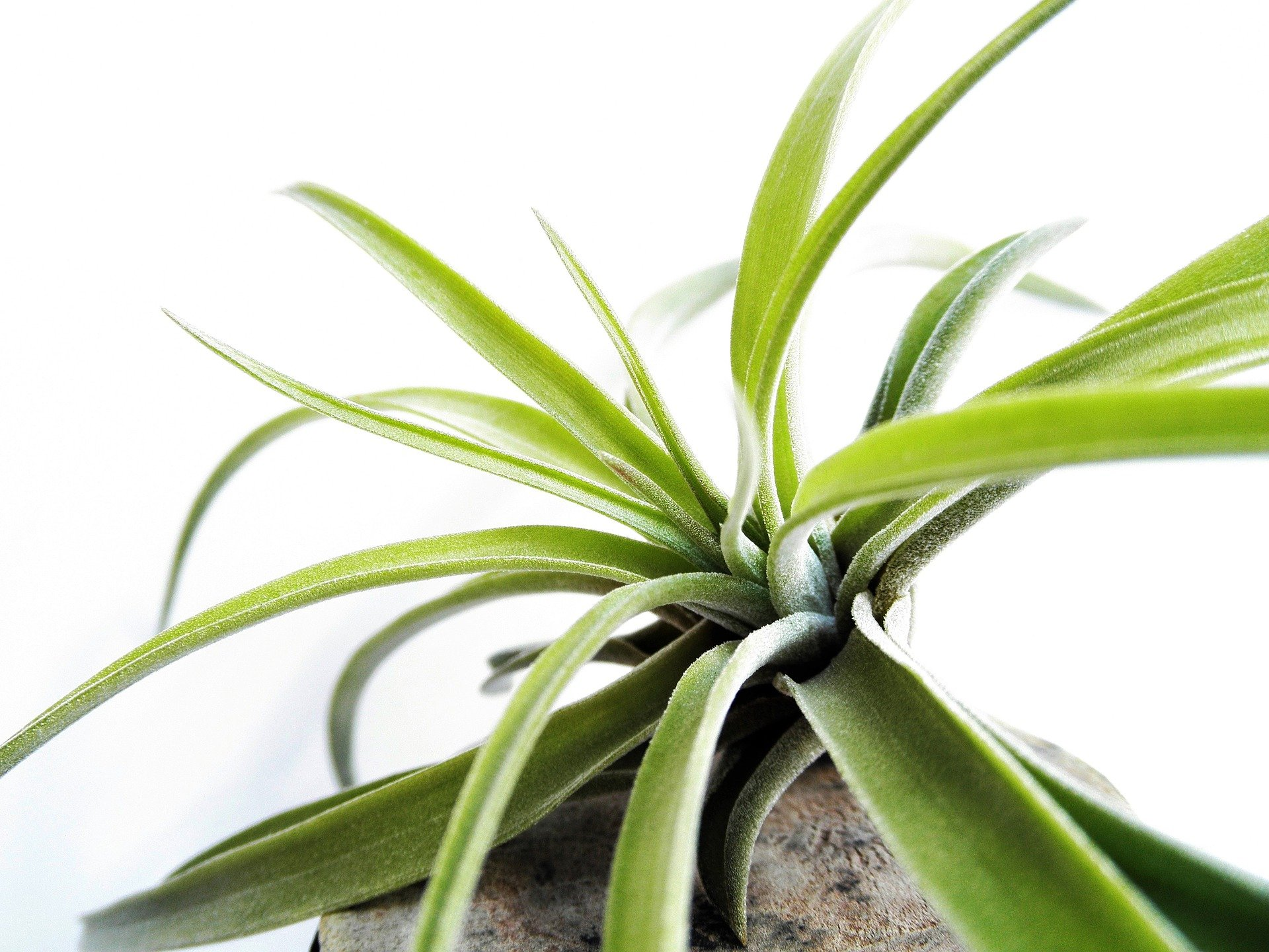 Why Do My Air Plants Keep Dying?