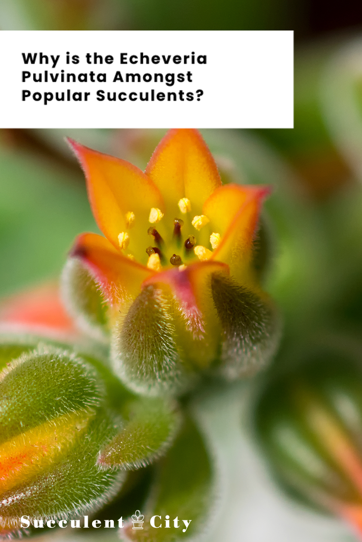 Why the Echeveria Pulvinata is Amongst Popular Succulents