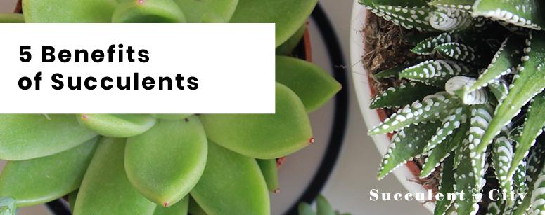 Benefits of succulents