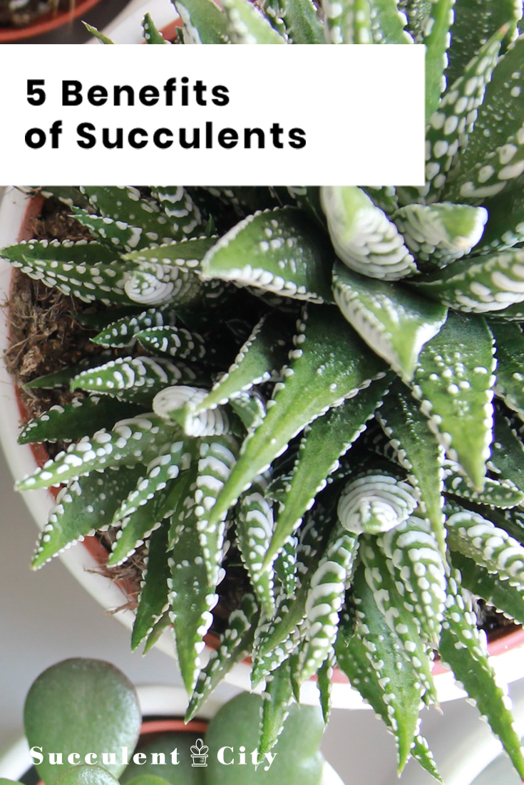 5 Main Benefits of Succulents in Your Home