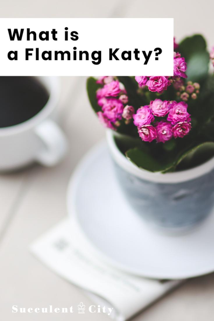 What is a Flaming Katy—Kalanchoe Blossfeldiana