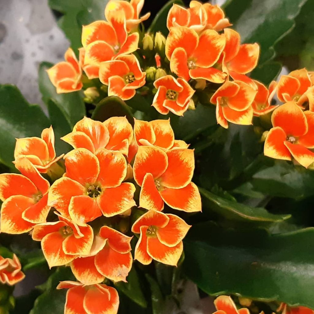 What is a Flaming Katy—Kalanchoe Blossfeldiana
