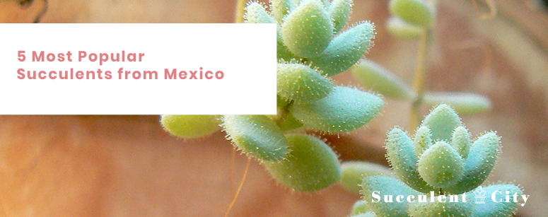 5 Most Popular Succulents From Mexico