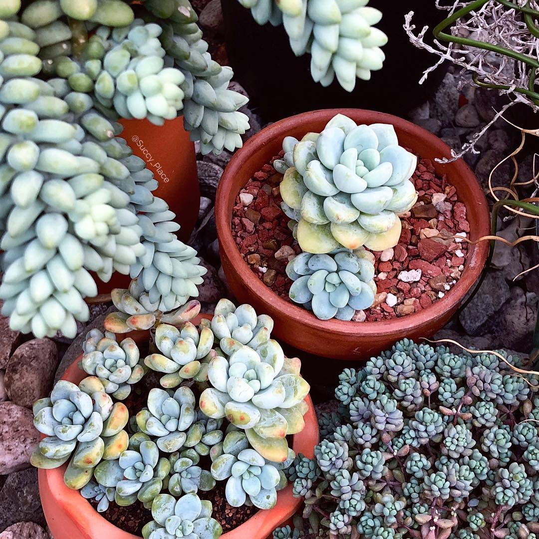 All You Need to Know About Stonecrop Succulents