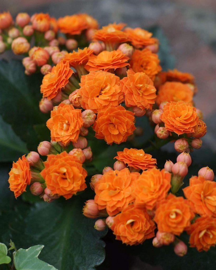 Florist Kalanchoe