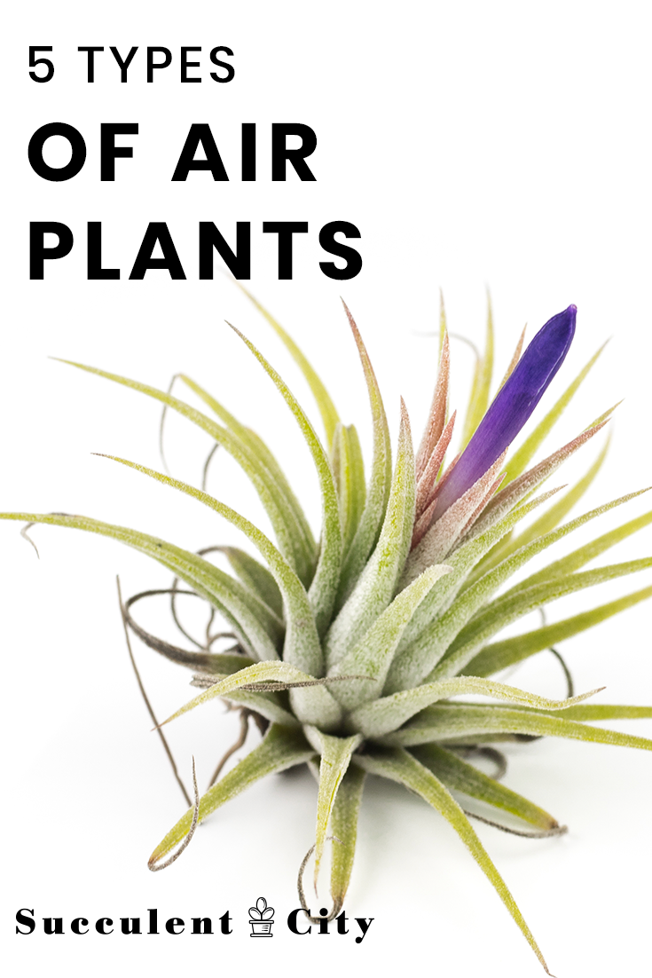 Definitive Guide To 5 Types of Air Plants