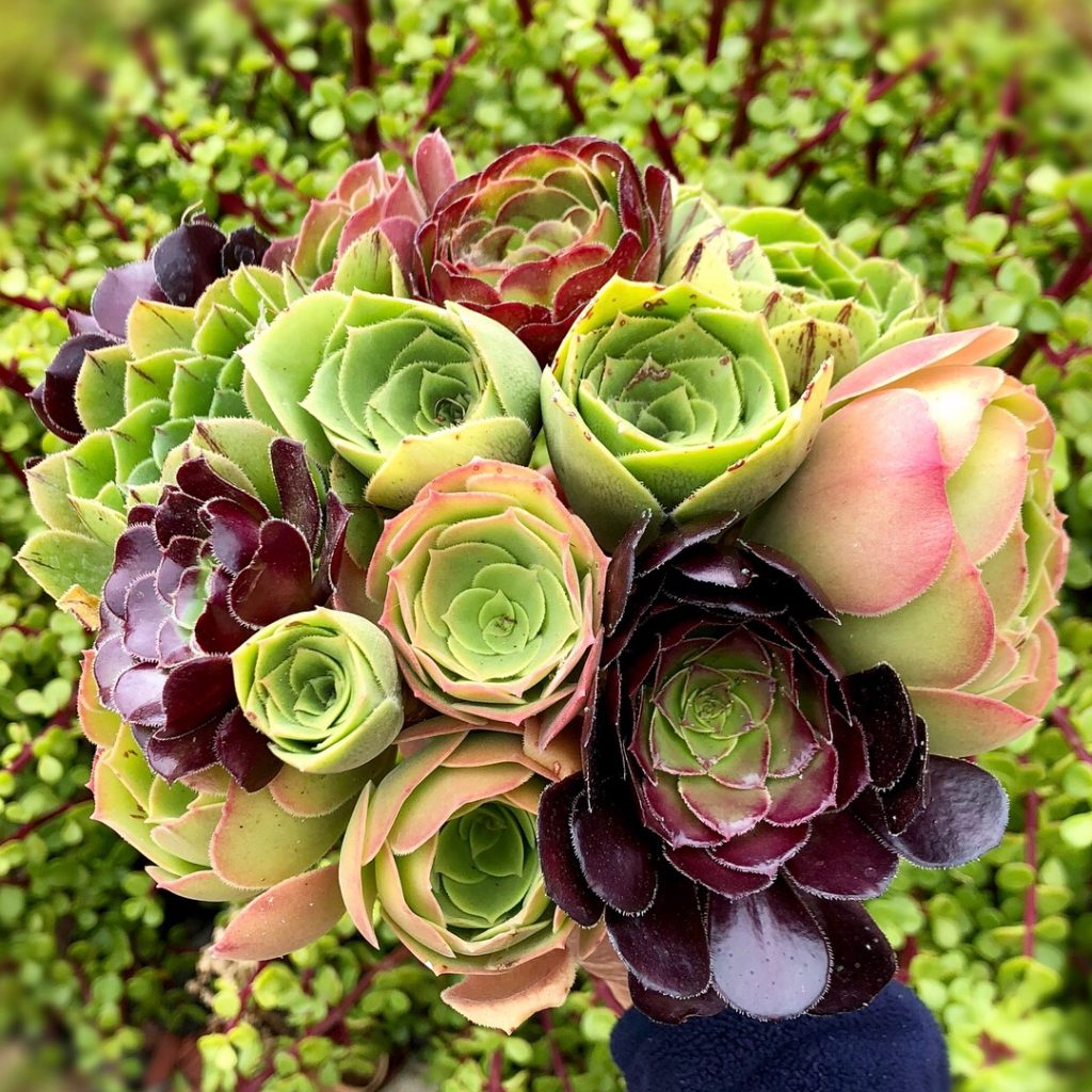 7 Succulents for Wedding Arrangements