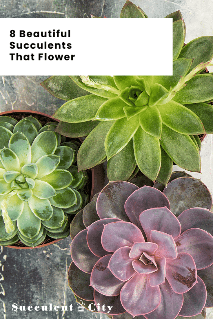 8 Beautiful Succulents That Flower Different Types For Indoors