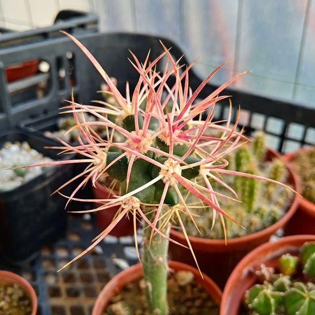 Cottontop Cactus - Echinocactus Polycephalus