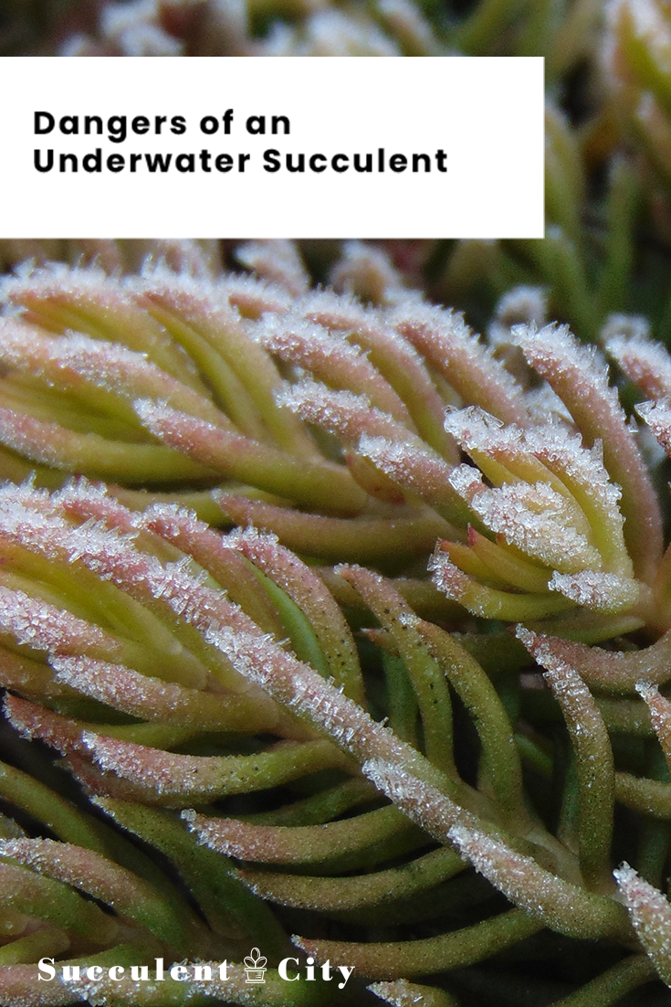 Dangers of an Underwatered Succulent