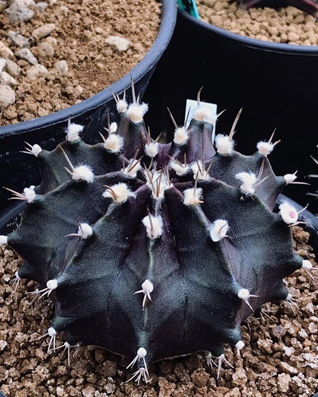 Blooming Beauty Moon Cactus Gymnocalycium Mihanovichii