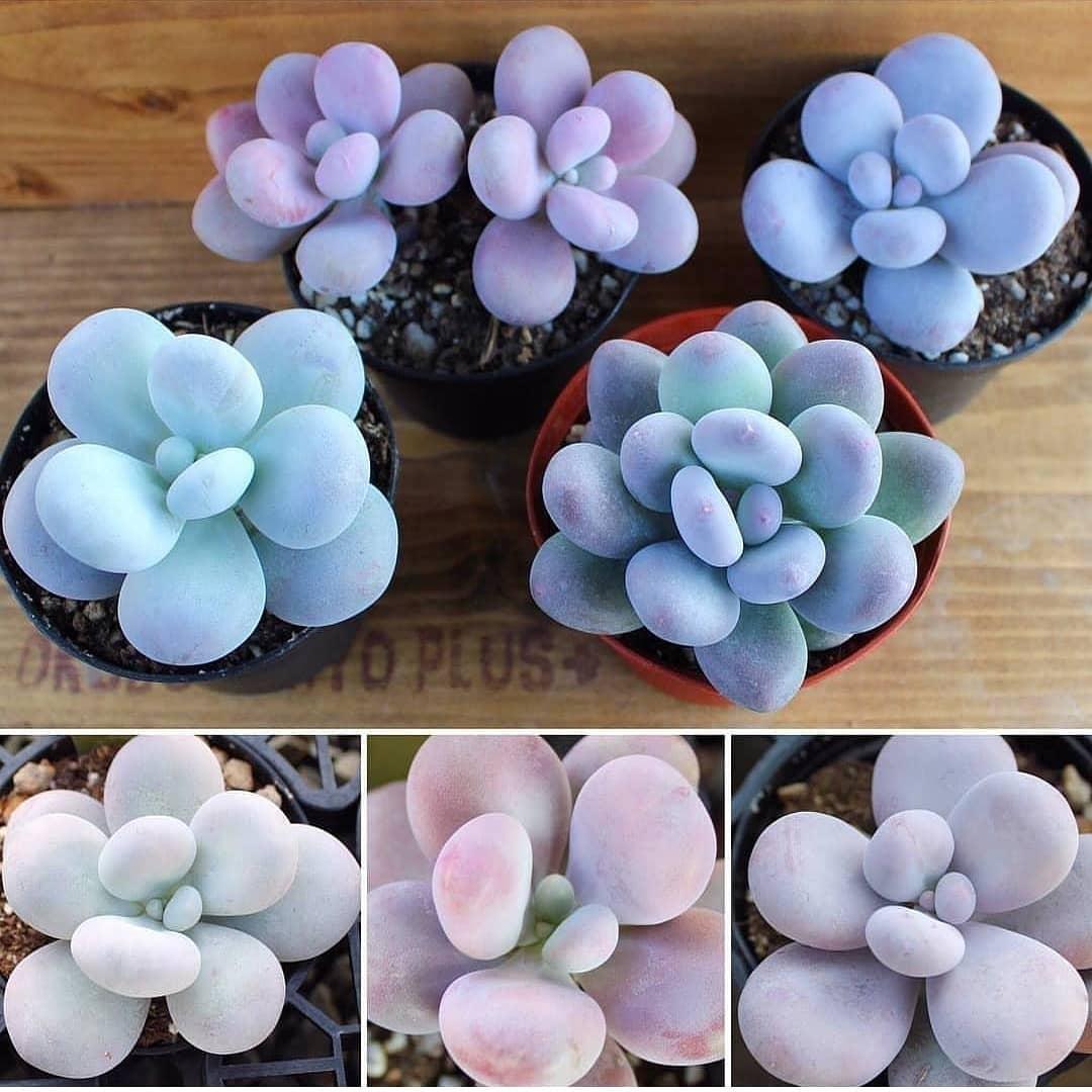 Pachyphytum Oviferum - Moonstones