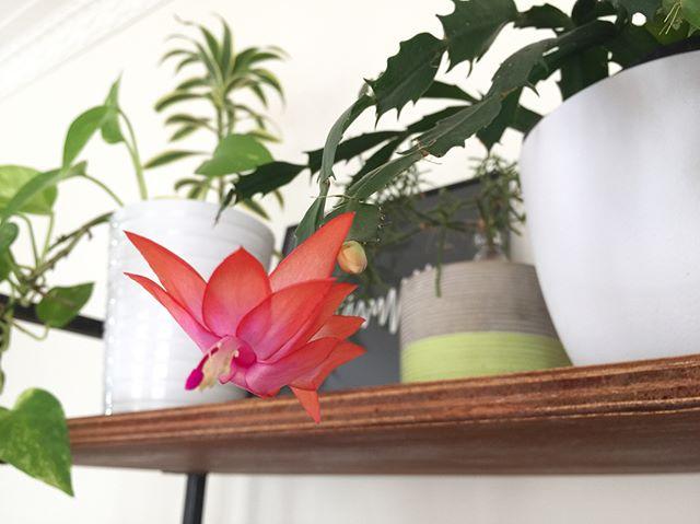 Mysterious Christmas Cactus - Schlumbergera Bridgesii