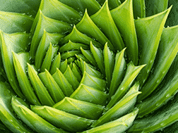 Twisted Succulent Spiral Aloe Polyphylla