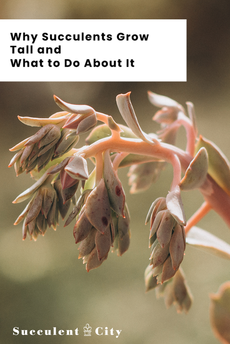 Why Succulents Grow Tall and What to Do About it