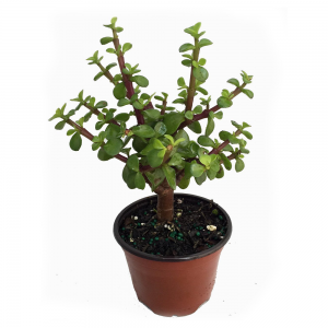 Mini Leaf Jade Plant For Sale