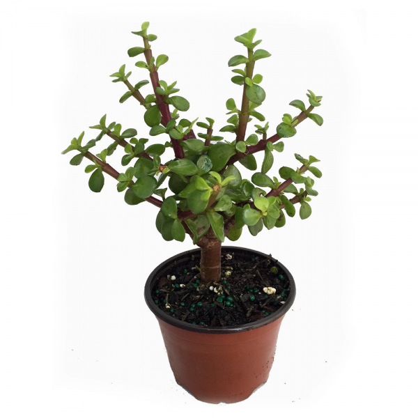 Mini Leaf Jade Plant For Sale