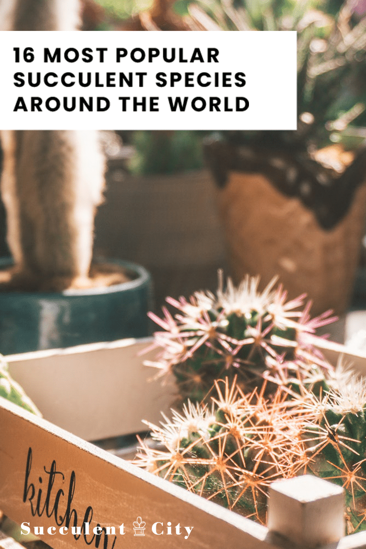 16 Most Popular Succulents Species In The World-Different Kinds