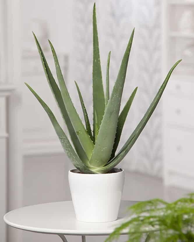 3 Aloe Vera Juice Benefits You Should Make Use Of
