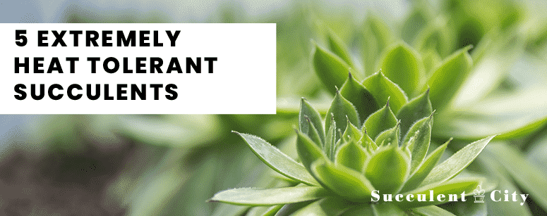 5 Extremely Heat Tolerant Succulents