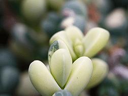 Beautiful Ice Plant Succulent Corpuscularia Lehmannii