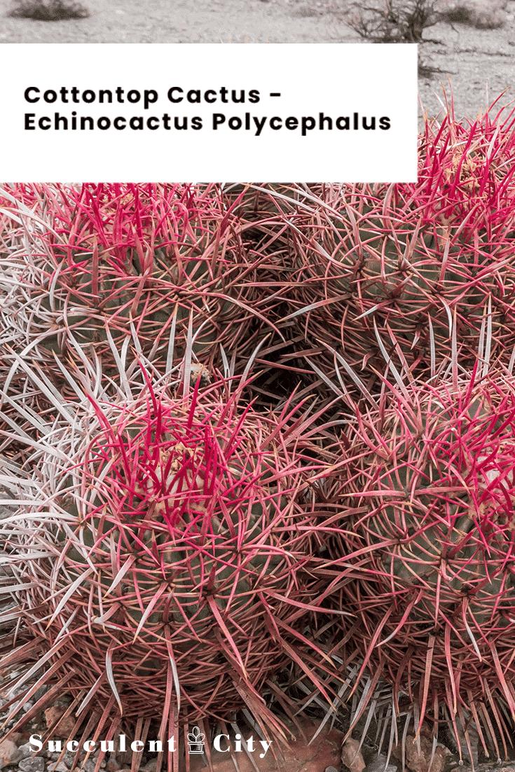 Cottontop Cactus – Echinocactus Polycephalus