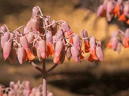 Cotyledon Orbiculata - the Pig's Ear