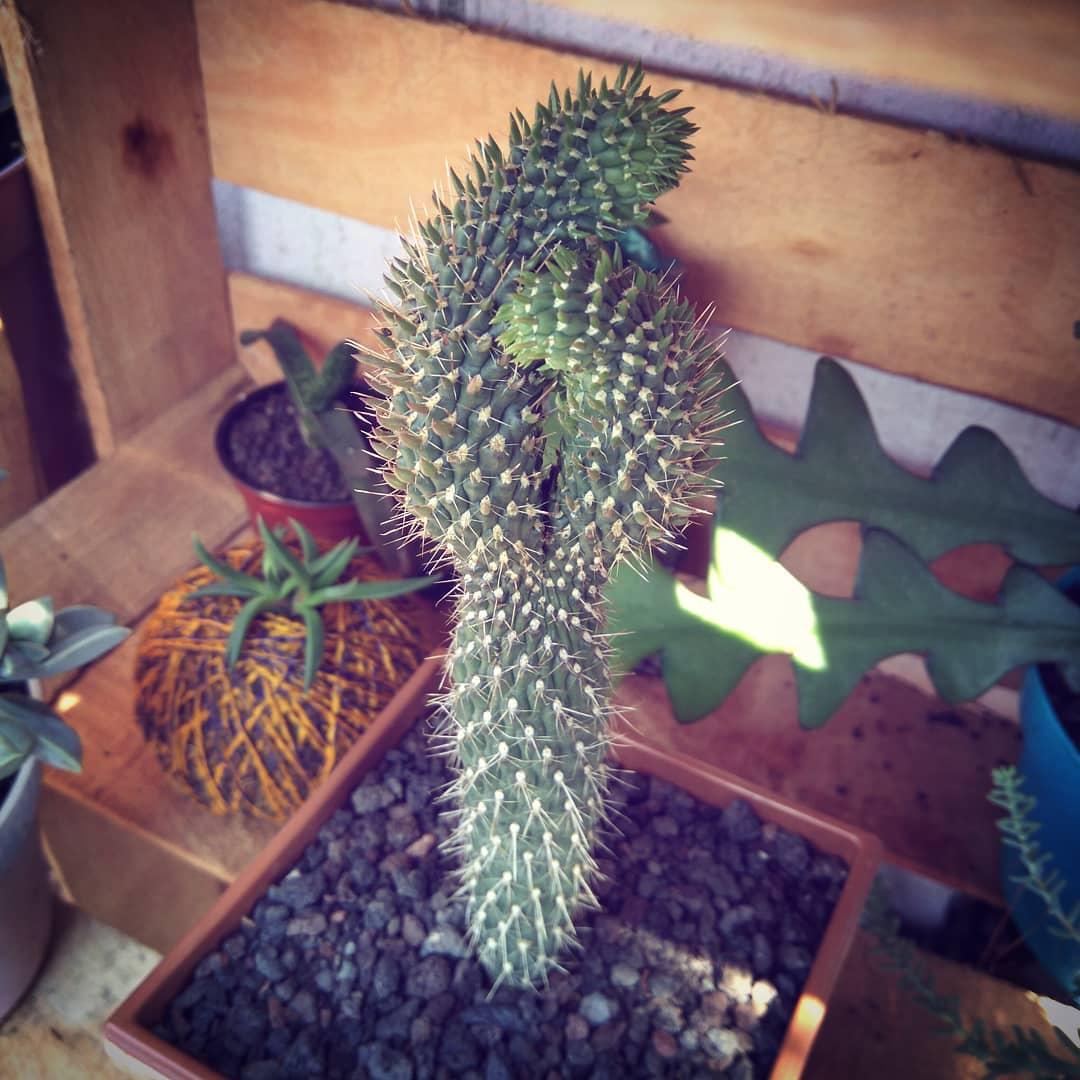 Jumping Cholla Cactus Cylindropuntia Fulgida