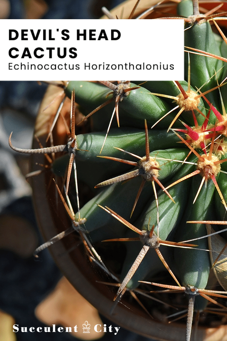 Devil's Head Cactus – Echinocactus Horizonthalonius