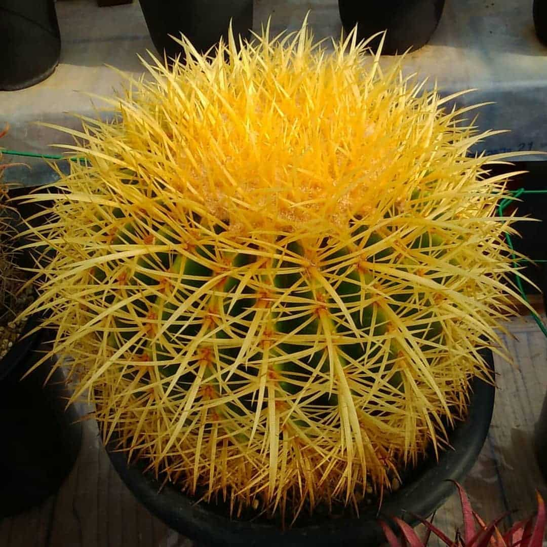 Giant Barrel Cactus - Echinocactus Platyacanthus