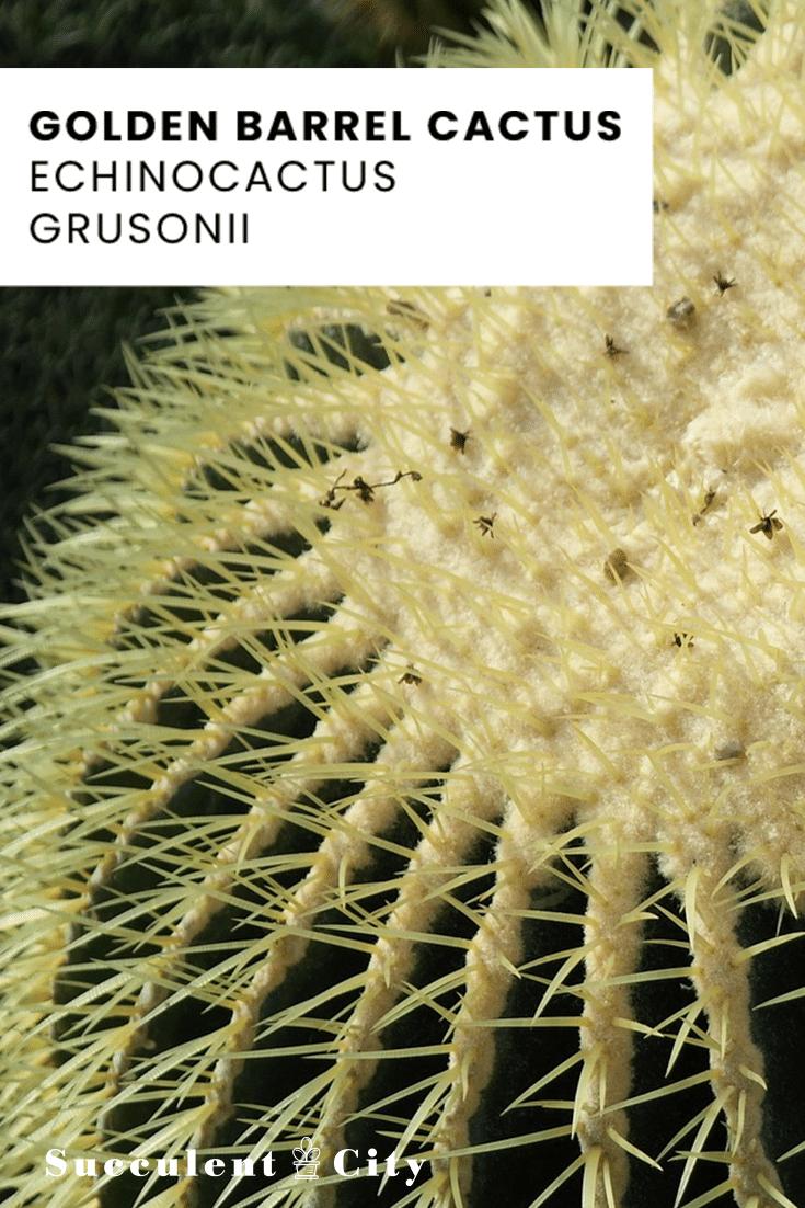 Golden Barrel Cactus – Echinocactus Grusonii