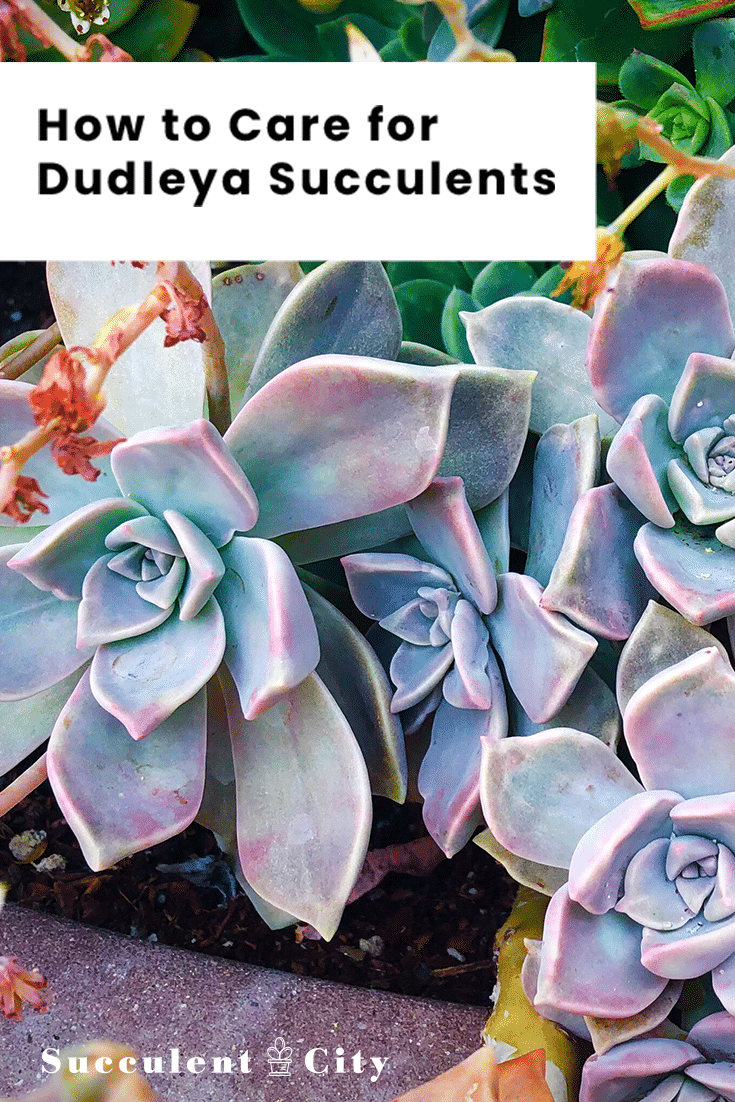 How to Care for Dudleya Succulents