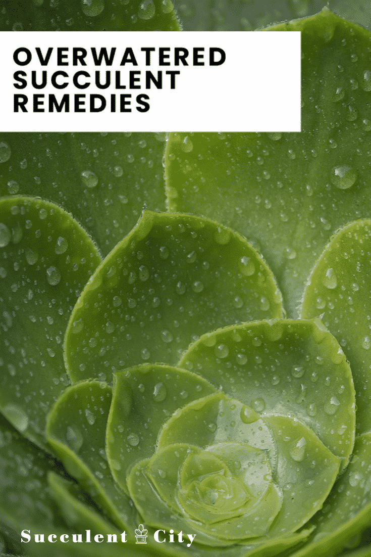 Overwatered Succulent Remedies: Everything You Need To Know