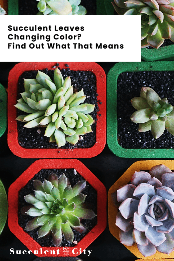Succulent Leaves Changing Color? Find Out What That Means