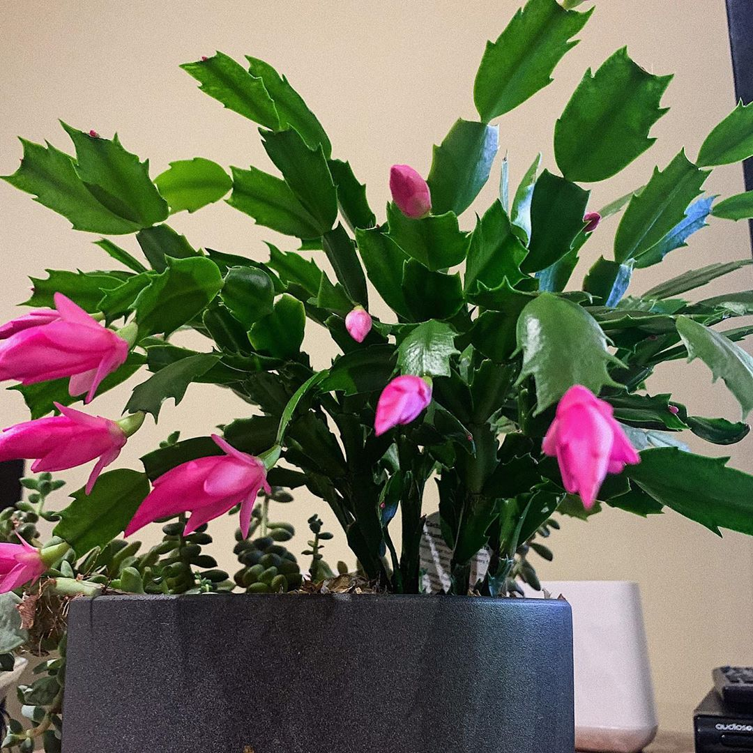 Thanksgiving Cactus Schlumbergera Truncata