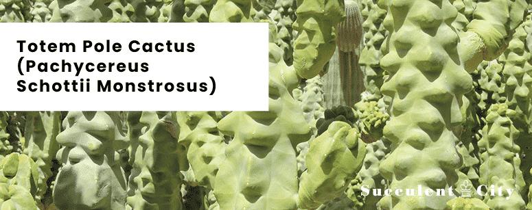 Totem Pole Cactus Pachycereus Schottii Monstrosus