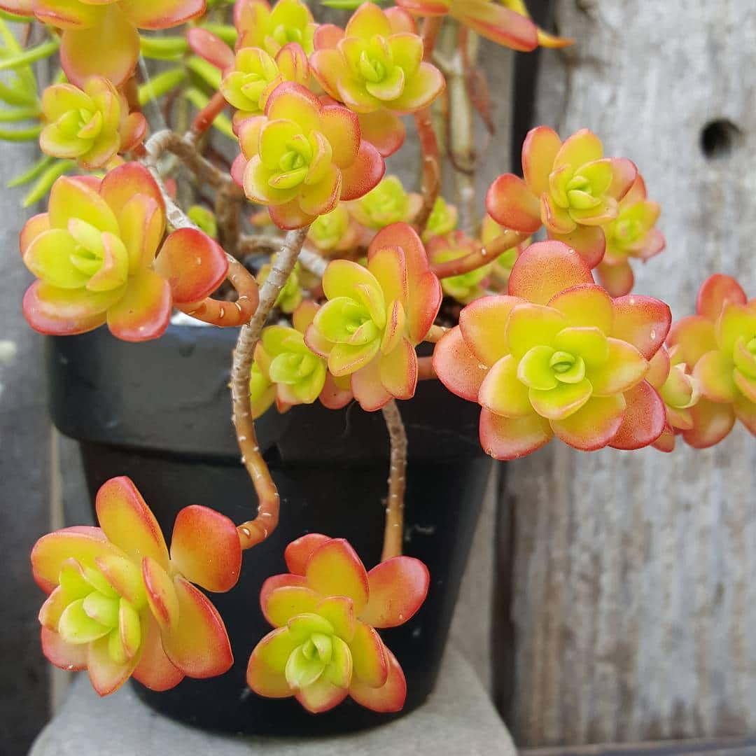 14 Sedum Succulents You Need in Your Garden
