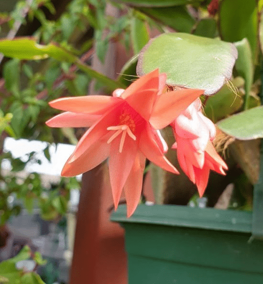 Beautiful Easter Cactus