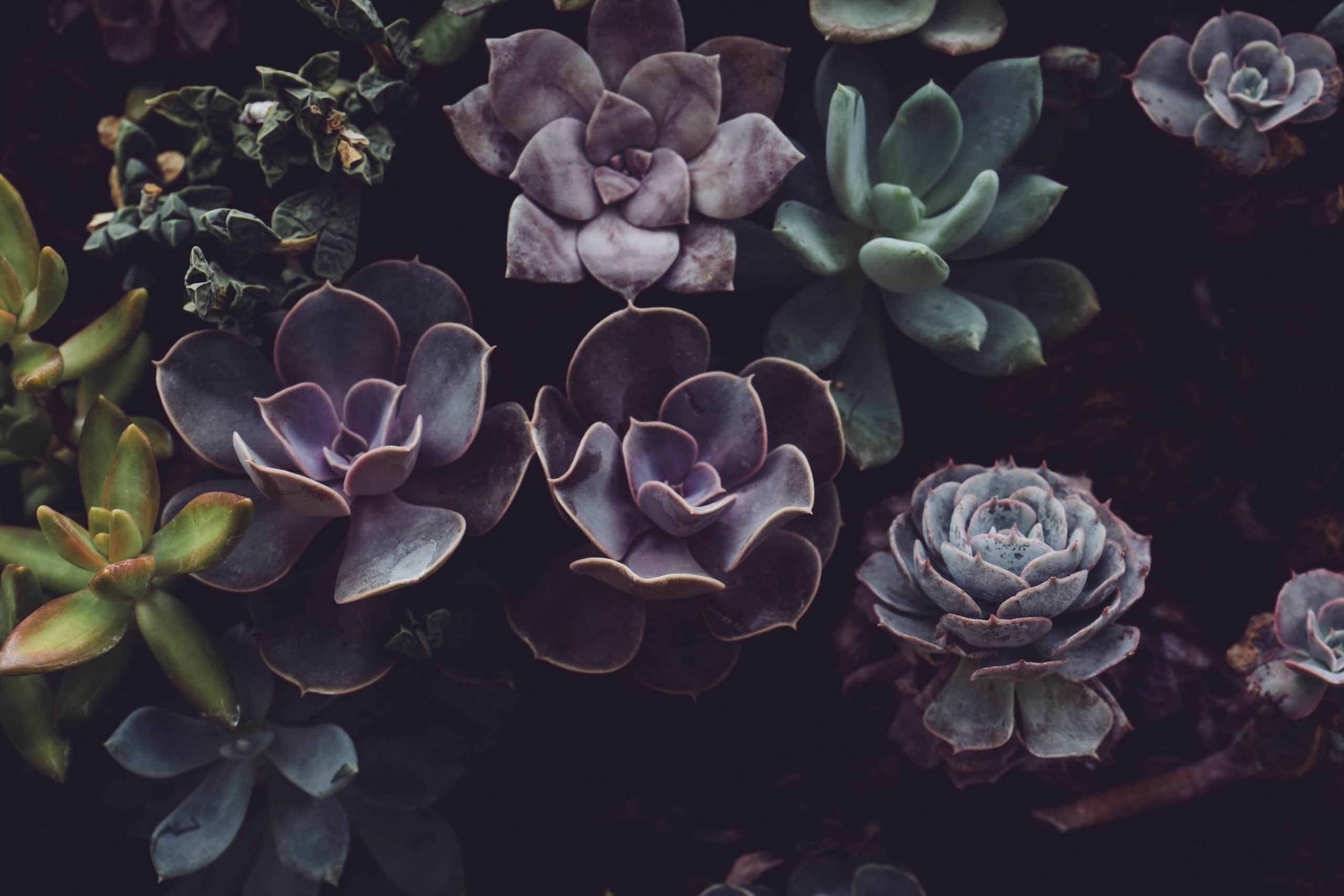 Echeveria Black Prince Succulent