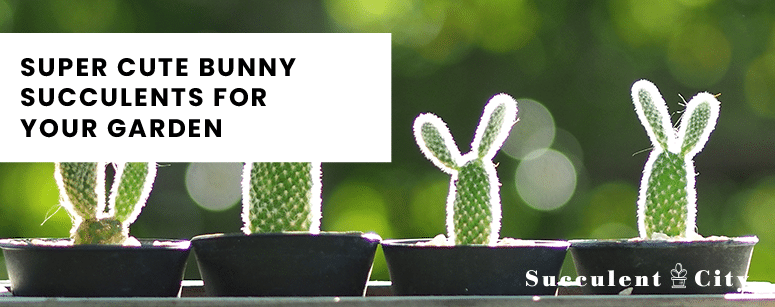 Super Cute Bunny Succulents For Your Garden