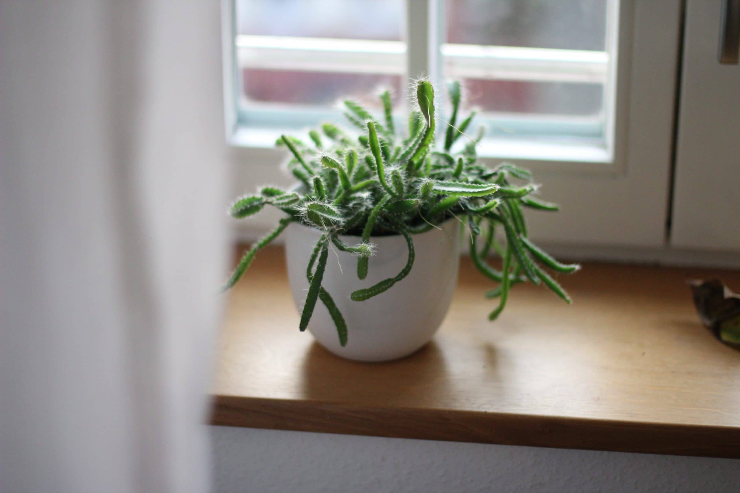 Watch Chain Succulent (Crassula muscosa)